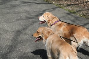 northville dog walker benefits