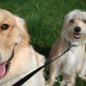 Dog Walking Rates in Northville