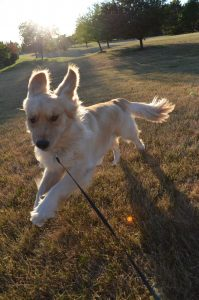 dog walking northville mi